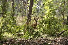 Ree / Capreolus capreolus (m.ritmeester) Tags: ngc naturelovers natuur nederland hoenderloo holland hoge veluwe groen gelderland bruin zwart ree