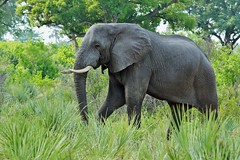 (Loxodonta africana) World Elephant Day - 12 August 2018 (Susan Roehl) Tags: botswana2013 okavangodelta botswana southernafrica elephant loxodontaafricana heaviestlandmammal animal mammal herbivore browser savannahs forests deserts marshes proboscis breathing liftingwater andgraspingobjects staynearwater keystonespecies afission–fusionsociety predators lions hyenas wilddogs mustelidae highlysocial highlyintelligent selfawareness iucnvulnerable sueroehl photographictours naturalhabitatadventures pentaxk3 sigma150500mmlens handheld cropped grass trees coth5 ngc npc