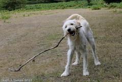 Wilson and Stick (CJT29(No longer Pro)) Tags: newforest hampshire cjt29 heathland cadmanspool wilson labradoodle dog