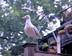 My visitor. (brooksbos) Tags: animal brooksbos boston brooks city evening newengland nature summer southend urban seagull bird gull wildlife
