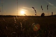 Simple Golden Hour Shot (jotxam) Tags: deutschland ef50mmf18stm felder gegenlicht germany landscape landschaft normalobjektiv querformat sonnenuntergang backlight calm fields goldenhour goldenestunde horizontal niftyfifty normallens ruhig silhouette sunset 500px instagram