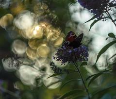 Butterfly and sunset in my garden. (agnieszka.a.morawska) Tags: manualfocus manuallens dof macro helios helios44m nature summer bkhq beyondbokeh bokehlicious bokeh sunset garden motyl butterfly