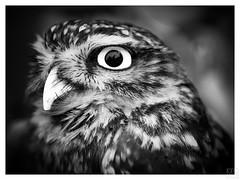 OWL bw (MAICN) Tags: raubvogel eule owl kauz mono tier sw natur animal nahaufnahme bw wildlife monochrome bird blackwhite schwarzweis einfarbig vogel 2018 nature