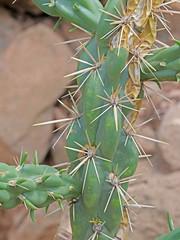CAE017388a (jerryoldenettel) Tags: 180803 2018 cactaceae caryophyllales coreeudicots cylindropuntiaspinosior dogcanyon nm opuntiaspinosior oteroco wildflower cactus canecholla cholla flower opuntia
