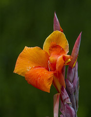 Canna (AllHarts) Tags: canna dixongardens memphistn naturesspirit thesunshinegroup alittlebeauty coth coth5
