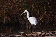 Garzetta _046 (Rolando CRINITI) Tags: garzetta uccelli uccello birds ornitologia racconigi natura