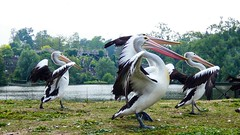 Pélicans - 5713 (ΨᗩSᗰIᘉᗴ HᗴᘉS +20 000 000 thx) Tags: bird pelican oiseau pairidaiza hensyasmine namur belgium europa aaa namuroise look photo friends be wow yasminehens interest intersting eu fr greatphotographers lanamuroise tellmeastory flickering 7dwf