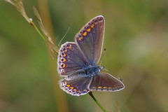 IMGP7354c Common Blue (f), Lackford Lakes, July 2018 (bobchappell55) Tags: wild wildlife nature lackfordlakes suffolk insect butterfly polyommatus icarus commonblue