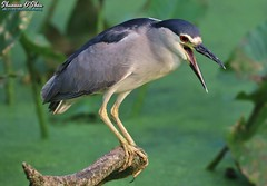I have a structured settlement and I need cash now! (Shannon Rose O'Shea) Tags: shannonroseoshea shannonosheawildlifephotography shannonoshea shannon blackcrownednightheron heron bird beak feathers wings skinnylegs birdyfeet branch duckweed green redeyes wildwoodlake harrisburg pennsylvania dauphincounty nature wildlife waterfowl art photo photography photograph wild wildlifephotography wildlifephotographer wildlifephotograph outdoors outdoor colorful closeup close fauna flickr wwwflickrcomphotosshannonroseoshea nycticoraxnycticorax tongue shouting canon canoneos80d canon80d eos80d 80d canon100400mm14556lis femalephotographer girlphotographer womanphotographer shootlikeagirl shootwithacamera throughherlens