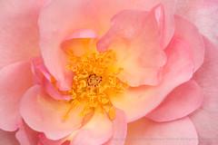 Nymphenburg Rose (III), 4.17.17 (pattyoboe) Tags: nymphenburgrose pink rosa roses sanjoseheritagerosegarden flora flowers