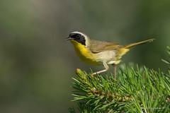 The masked bug bandit (Earl Reinink) Tags: warbler bird animal songbird tree branch pine outside nature earl reinink earlreinink yellow throat commonyellowthroatwarbler eozddtrdza