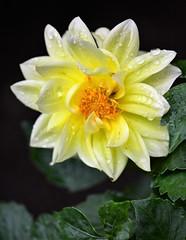 Dahlia (brendabrand467) Tags: dahlia white flower raindrops macro closeup garden yellow green beautiful summer