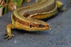 Common Lizard (Zootoca vivipara / Lacerta vivipara) (Brian Carruthers-Dublin-Eire) Tags: animalia chordata reptilia squamata lacertidae lacertini zvivipara zootoca vivipara lizard commonlizard zootocavivipara animal wildlife nature outdoor