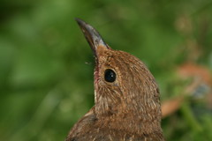 My visitor today.A juvenile blackbird.... (mmwattsie2) Tags: head blackbird juvenal young