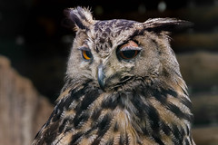 Eagle-owl (Grzegorz Krol) Tags: owl bird nature birds birding face portrait pentax poland natural animal eyes eagleowl brown expression