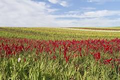 Santa Maria Field of Flowers (grandmasandy+chuck) Tags: clouds sky red yellow plants flowers explore