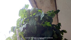 Tomatoes 'Red Robin' in hanging basket on balcony 22nd July 2018 003 (D@viD_2.011) Tags: tomato plants flowering fruiting balcony 22nd july 2017 tomatoes red robin hanging basket