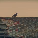 newly fledged eagle on barn roof thumbnail