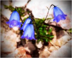 Bellflower Blue... (kurtwolf303) Tags: bellflower glockenblume blue blau pflanze flower blume plant nature natur campanula macro makro nikon nikond5500 art nahaufnahme kurtwolf303 hochschneeberg austria österreich
