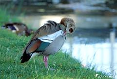 Ouette d'Égypte (Jean-Daniel David) Tags: oiseau oiseaudeau oie ouettedégypte oison pelouse herbe closeup grosplan yverdonlesbains suisse suisseromande vaud toilettage rivière reflet nature fabuleuse