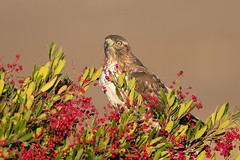 Red-tailed Hawk (X82_7170-1) (Eric SF) Tags: redtailedhawk hawk raptor
