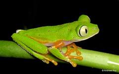 Treefrog, Agalychnis hulli (Ecuador Megadiverso) Tags: agalychnishulli amazon amphibian andreaskay anura ecuador frog hylidae hylomantishulli puyo rainforest tamanduareservaflores treefrog