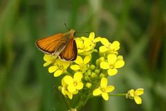 Liblikas (Jaan Keinaste) Tags: olympussh1 eesti estonia elusloodus fauna liblikas butterfly