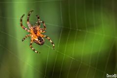 Tejedora - Weaver (danielfi) Tags: tejedora weaver spyder spyderweb macro macrofotografía wildlife fauna naturaleza nature asturias ngc araña telaraña