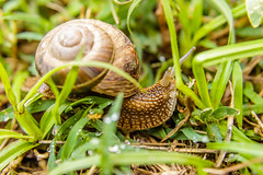 Garden snail in shell, helix pomatia, on the grass, macro shot (zaklina.miljkovic) Tags: slow animal background big brown close crawldetail forward garden gastropod grass green ground helix invertebrate large life macro mollusc mollusk motion move movement nature one pomatia scene shell slime slimy slowness slug snail spiral tentacle view wild wildlife