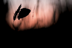 Demi deuil (Julien Prazzoli) Tags: papillon butterfly nature macro proxy insec