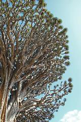 El Drago #8 (Gy:A ( attilafoto.hu )) Tags: tenerife eldrago dragontree photo attilafoto canarians canaryislands atlanticocean spring