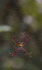 Colourful spider (Rob McC) Tags: insect fauna arachnid spider web argiope nature