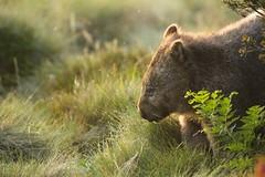 Common Wombat in afternoon light (Caleb McElrea) Tags: cradlemountain unesco worldheritagesite tasmaniansouthwestwilderness tasmania wilderness cradlemountainlakestclairnationalpark commonwombat