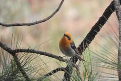 Olive Warbler (VancouverBirder) Tags: olive warbler pima peucedramidae tucson arizona sky islands bird orange