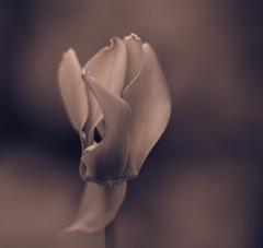 A study in soft focus (monochrome) (petebond_au) Tags: curves delicate beauty softfocus angiosperms cyclamen macro monochrome