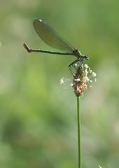 Calopteryx Splendens (Visual Stripes) Tags: calopterygidae odonata insect invertebrate sigma105mm macro panasoniclumixg1 bokeh handheld