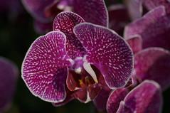DSC08364- Truly Yours - The Phalaenopsis (oliveplum) Tags: orchidextravaganza phalaenopsis gardensbythebay flowerdome leica60f28macro sony singapore bokeh marinabay