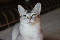 Eevee (pouncealot) Tags: cat catportrait pet petportrait green aww cute