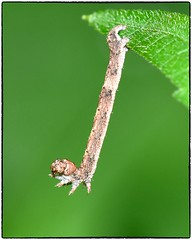 Inchworm (RKop) Tags: nikkor200f4macro nikon raphaelkopanphotography californiawoodspark ohio wildlife