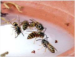# 3 How to keep wasps out of the kitchen? (MaxUndFriedel) Tags: nature summer august garden insects wasps hunger bowl sugar water