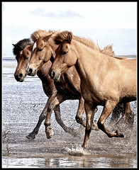 Running free (Helgi Skulason photographer) Tags: helgiskulason helgiskulasongmailcom iceland isländische horses hestar h