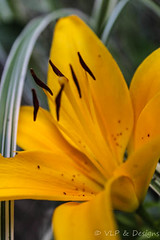 Tiger Lily (vickieklinkhammer) Tags: flower plant flora petal yellow lily noperson blossom nature outdoors leaf closeup bright sitting summer macrophotography growth plantstem garden floweringplant color pollen group fairweather season computerwallpaper delicate blooming outside macro dusk earlyevening lateafternoon naturephotography landscape landscapephotography spiderplant photoimage tigerlily stamen pistils petals golden brown black freckles leaves botanical vibrant