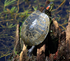 red-eared slider (Trachemys scripta elegans), also known as the red-eared terrapin (im2fast4u2c) Tags: redearedslidertrachemysscriptaelegans alsoknownastheredearedterrapin sheldonlakestatepark animal wildlife emydidae semiaquatic turtle invasive species