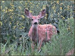 Young wild Mule deer (got2snap) Tags: muledeer animal fawn crop canola saskatchewan saskatchewancountry sx60 canon outdoors nature country canada prairies