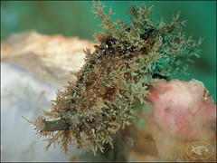 Erose Cowrie (Naria erosa) (Brian Mayes) Tags: 1977 pipeline nelsonbay australia shell cowrie cypraeidae erosecowrie nariaerosa underwater scuba diving canon g16 canong16 brianmayes