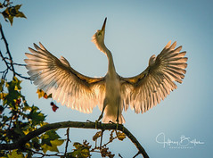 Egrets learning to fly (Jeffrey Balfus (thx for 2 Million views)) Tags: birds sony100400mm sonya9mirrorless sonyilce9 sonyalpha ergrets fullframe mountainview california unitedstates us sony a9 mirrorless egret backlight