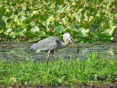 OOOPS! Great Blue Heron drops his breakfast!! (Photos by the Swamper) Tags: wadingbirds heron greatblueheron