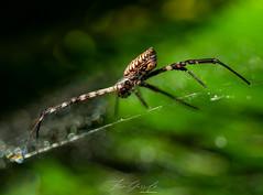 Dándome la espalda ... (Fran-Garrido) Tags: olympus em1markii zuiko1240f28pro mirrorless macro macrofotografía araña spider verde naturaleza animal aracnido fb tw