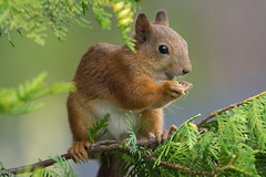 Sciurus vulgaris (Red Squirrel) (talaakso) Tags: d7200 eichhörnchen ekorn ekorre eläin eläinkuv finland finnishanimal finnishwildlife mammalanimal nikond7200 nisäkäs nordicanimal nordicwildlife orava redsquirrel sciurusvulgaris squirrel tamron150600 terolaakso wildlife animaleating cute cuteanimal djur finnishnature squirreleating söpoeläin söpö talaakso