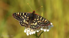 Variable Checkerspot (Bob Gunderson) Tags: butterflies california elpolinsprings euphydryaschalcedona insects northerncalifornia presidio sanfrancisco variablecheckerspot wildlife